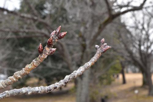 早咲きのサクラ,おおかんざくら