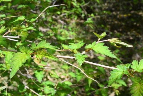 コゴメウツギ,こごめうつぎ,葉っぱ