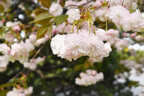 牡丹桜,ふげんぞう