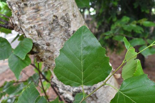 White birch,tree in Japan