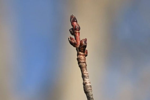 ハナノキの木の芽
