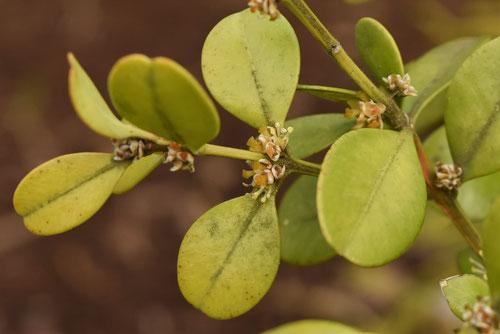 スドウツゲの花