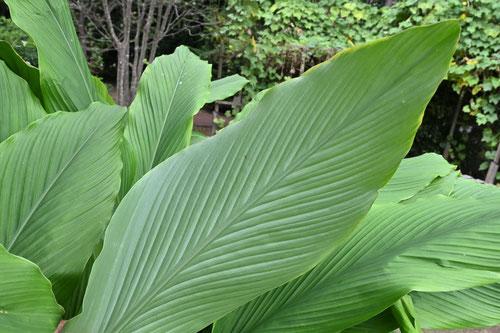 ターメリックの葉