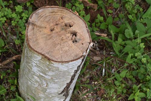 シラカンバの木,伐採