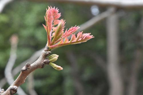 モクゲンジの木
