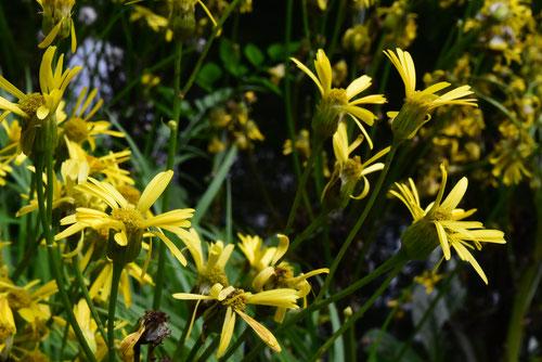 サワオグルマの花