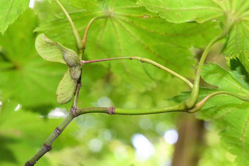 ハウチワカエデの種子 画像