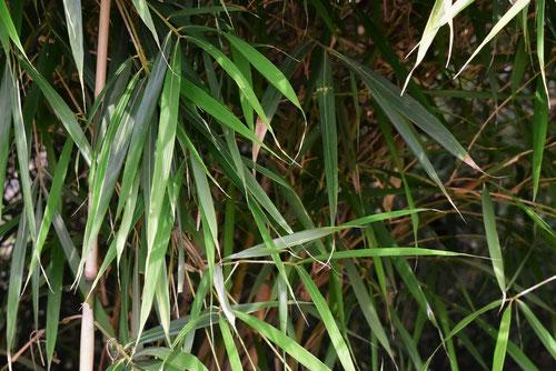 大明竹の葉っぱ