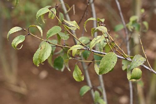 ハイノキの葉っぱ