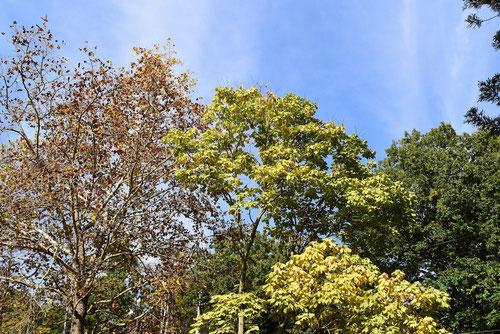 アオニョロリ 黄葉