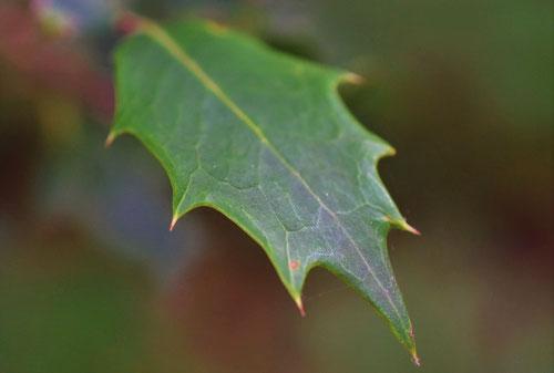 ひいらぎの木の葉っぱ