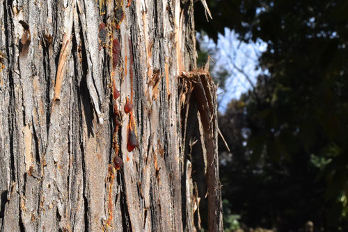 杉の木の皮,すぎ
