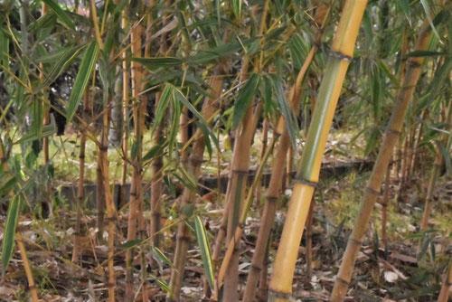 きんめいちく,竹