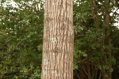 しおじ,樹木