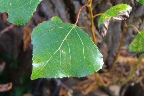 leaf of poplar