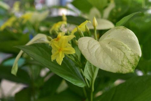 ハンカチノキに似た木 植物
