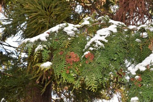 ひのき,樹木,降雪