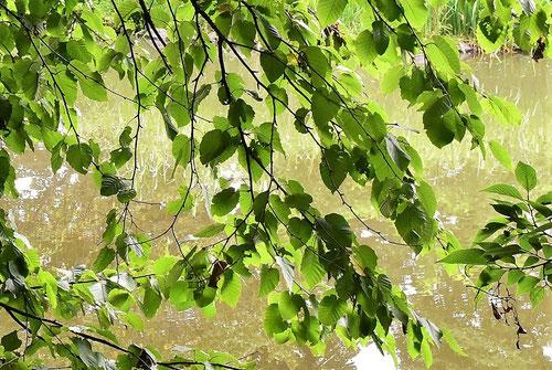 ウダイカンバの木の特徴