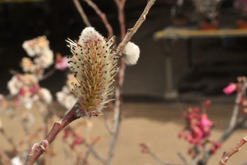 桃色のねこやなぎの花