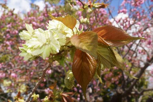 黄桜,種類