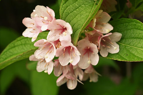 Japanese weigela,flower