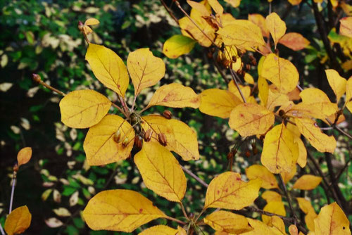サラサドウダン 紅葉 黄葉
