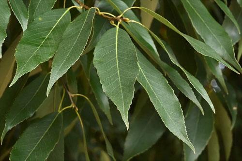 シラカシの葉っぱ
