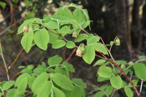 臼の木の花