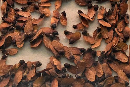 ハウチワカエデの種子