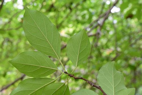 ハリグワの木,植物