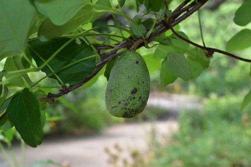 akebi,fruits