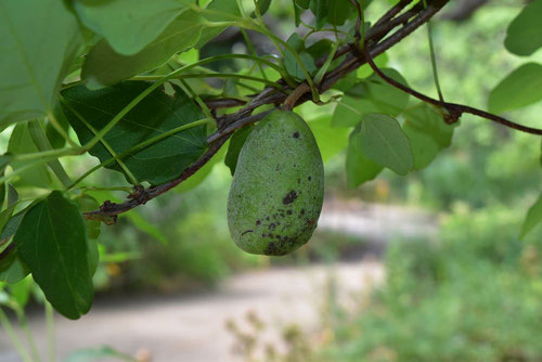 akebi,fruits