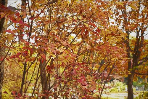 オトコヨウゾメ,紅葉,画像