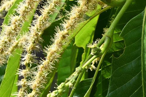 栗の花の匂い,初夏,時期,開花