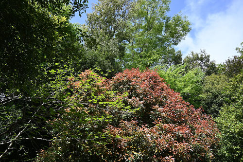 赤い葉っぱの木