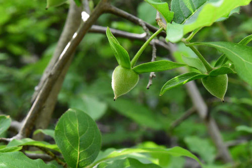 Chinese persimmon,fruits