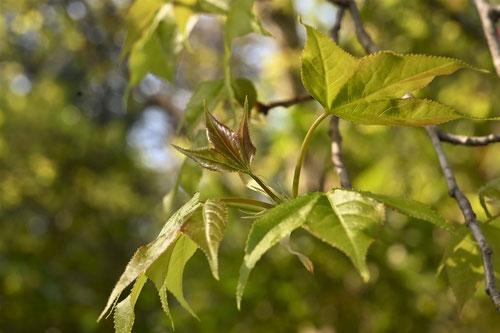 Chinese sweetgum,leaf