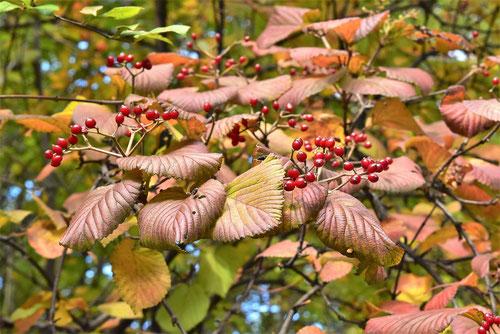 ガマズミの紅葉,黄葉