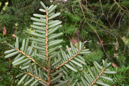栂の木,葉っぱ