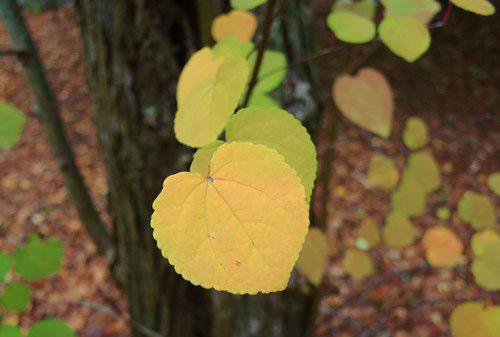 ハート形の葉っぱ キャラメル