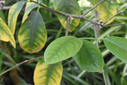 limetree,leaf