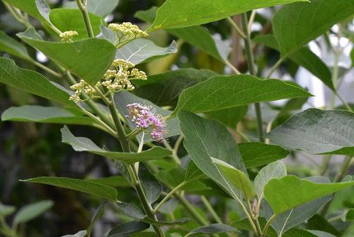 ムラサキシキブ,木の種類