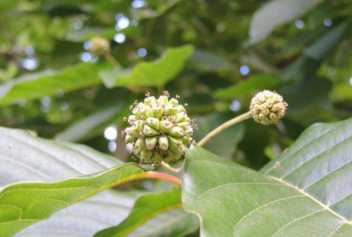 カンレンボクの花 画像
