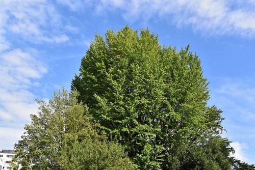 ギンナンの木,画像