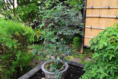 akebi bonsai