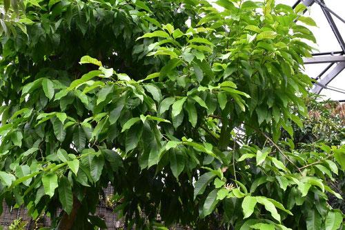 ギンコウボク,樹木