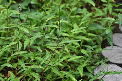 1年草であり、春から秋までの間、盛んに育つ