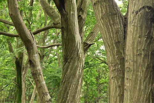 シデの木,ソロの木