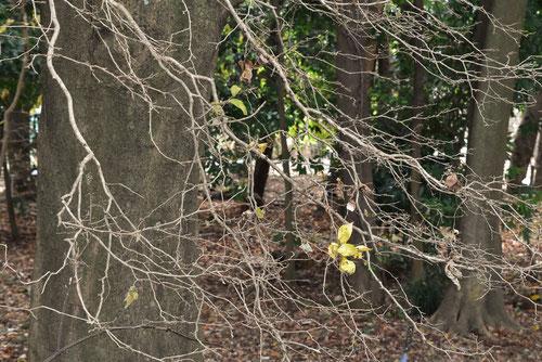 瑠璃色の実がなる木