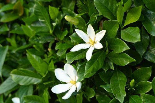 くちなしの花,画像